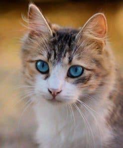 Schilderen op nummer - Kitten met blauwe ogen 🐈