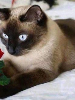 Schilderen op nummer - Bruine kat met roos