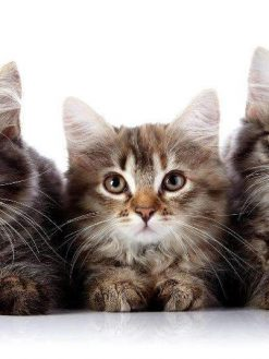 Schilderen op nummer - Drie Katten Op Een Rij
