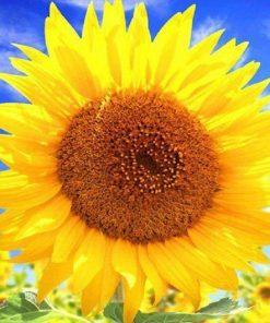 Schilderen op nummer - Mooie zonnebloem 💐