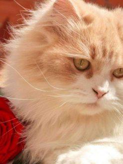 Schilderen op nummer - Witte Kat met Roos